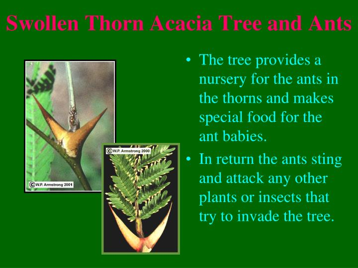 Swollen Thorn Acacia Tree and Ants
