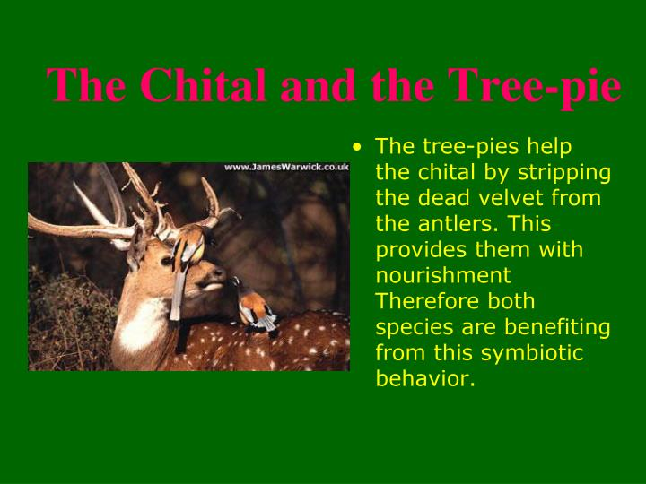 The Chital and the Tree-pie