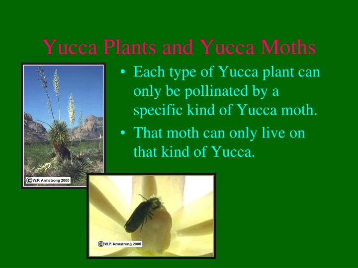 Yucca Plants and Yucca Moths