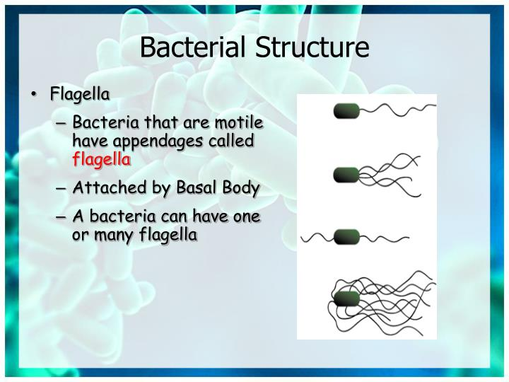 Bacterial Structure