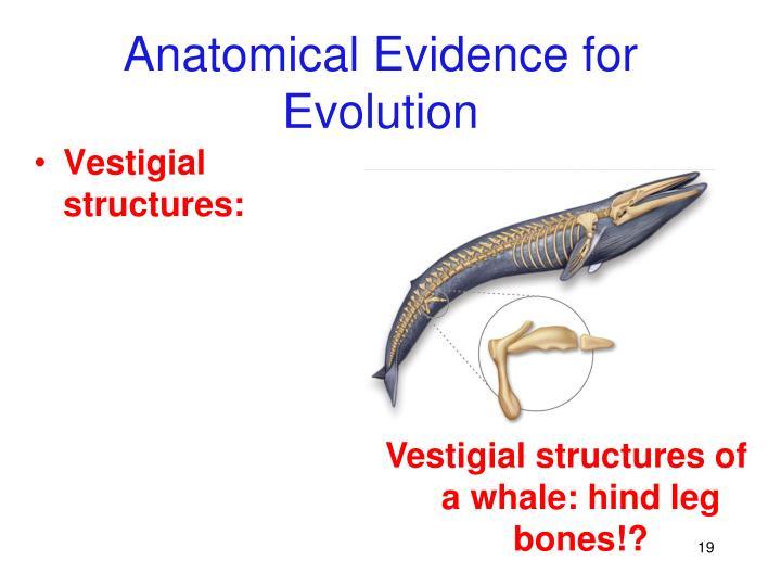 Vestigial structures of a whale: hind leg bones!?