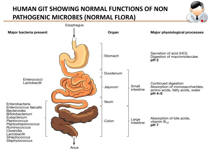 HUMAN GIT SHOWING NORMAL FUNCTIONS OF NON PATHOGENIC MICROBES (NORMAL FLORA)