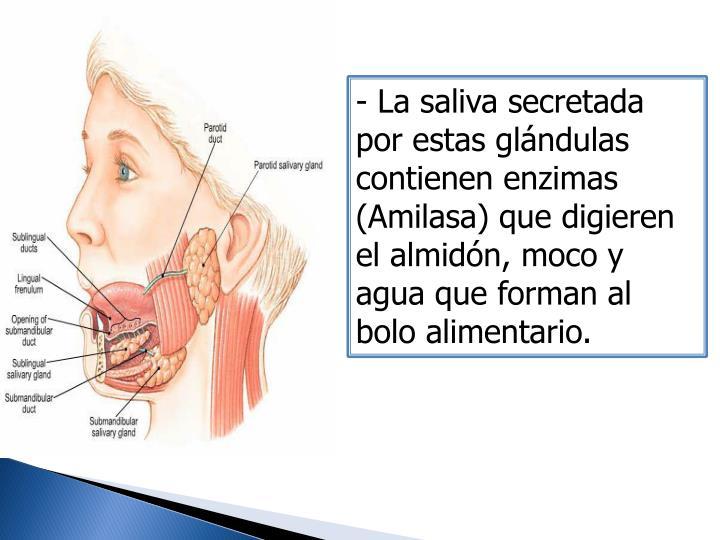 - La saliva secretada por estas glándulas contienen enzimas (Amilasa) que digieren el almidón, moco y agua que forman al bolo alimentario.