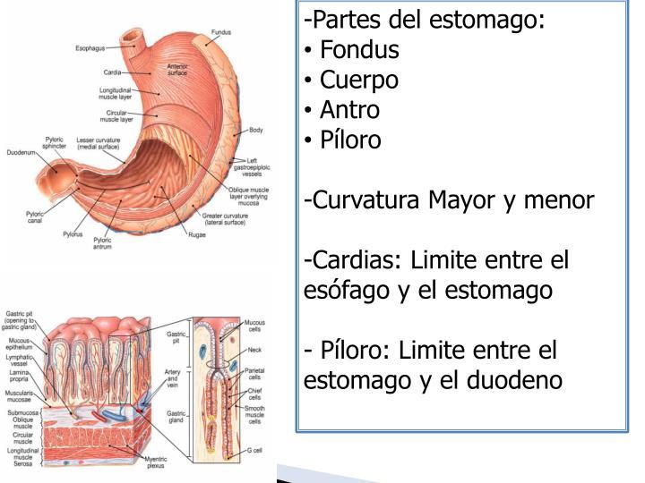 Partes del estomago: