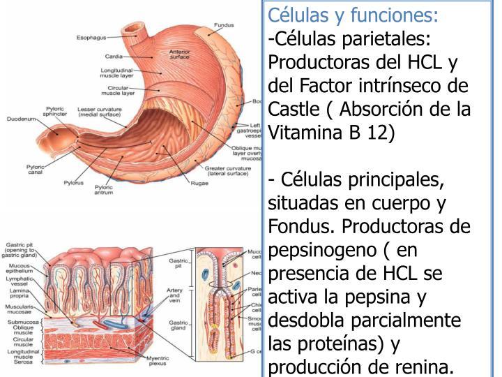 Células y funciones: