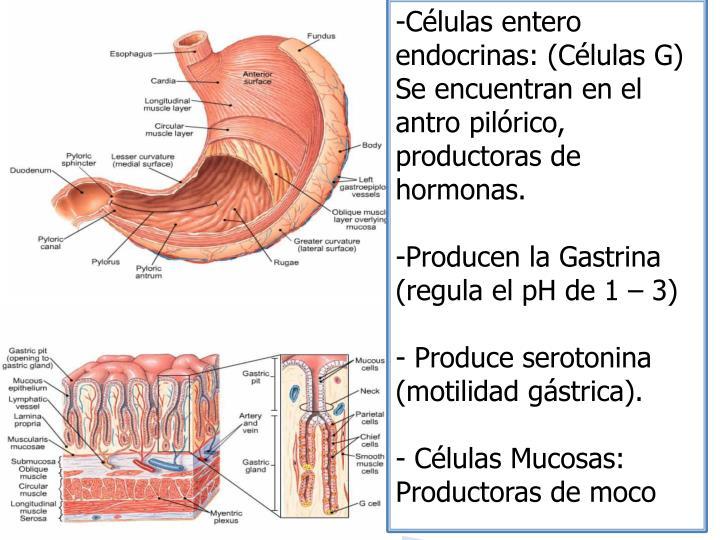 Células entero endocrinas: (Células G)
