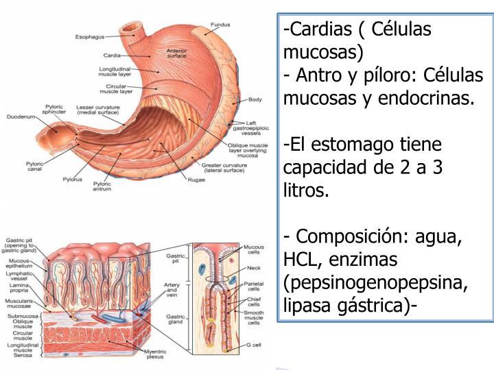 Cardias ( Células mucosas)