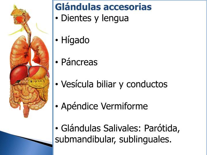 Glándulas accesorias