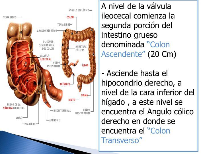 A nivel de la válvula ileocecal comienza la segunda porción del intestino grueso denominada
