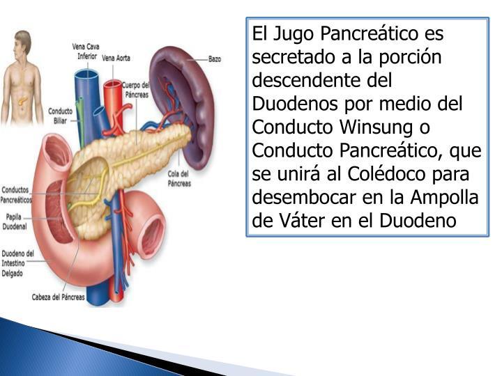 El Jugo Pancreático es secretado a la porción descendente del Duodenos por medio del Conducto Winsung o Conducto Pancreático, que se unirá al Colédoco para desembocar en la Ampolla de Váter en el Duodeno