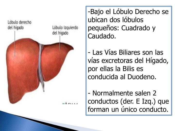 Bajo el Lóbulo Derecho se ubican dos lóbulos pequeños: Cuadrado y Caudado.