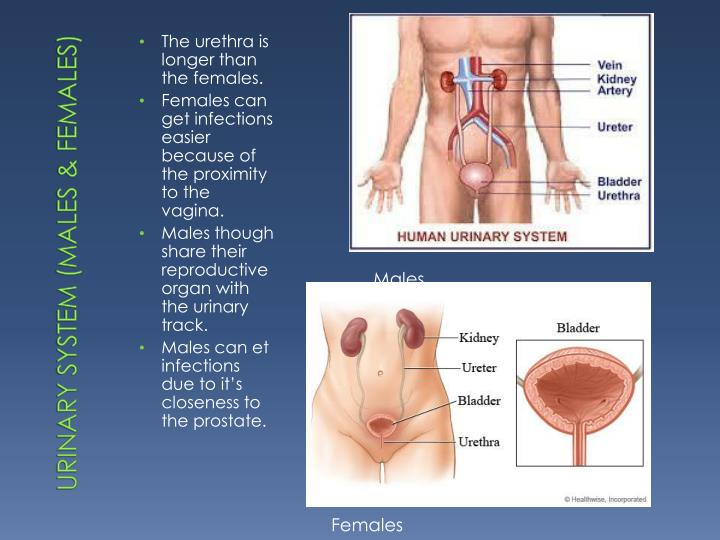 Urinary System (Males & Females)