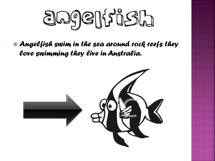 Angelfish swim in the sea around rock reefs they love swimming they live in Australia.