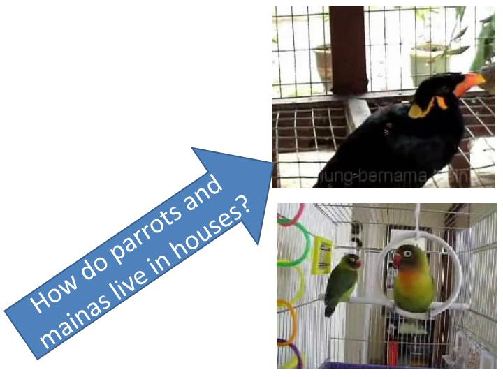 How do parrots and mainas live in houses?