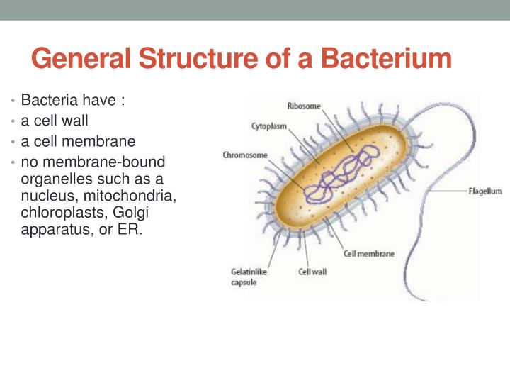 General Structure of a Bacterium