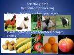 selectively bred hybridization inbreeding