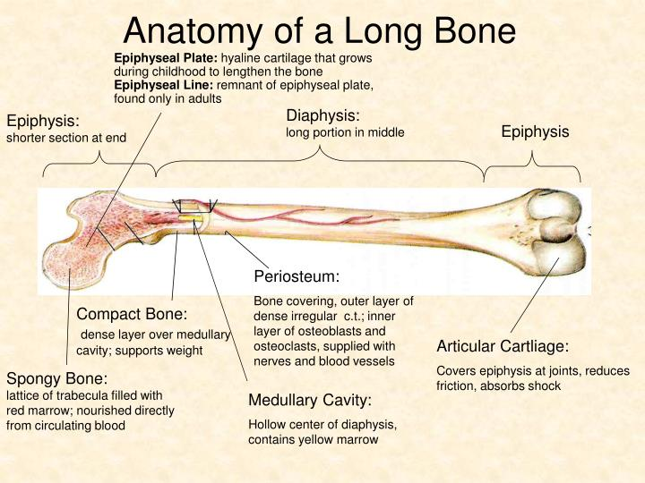 Anatomy of a Long Bone