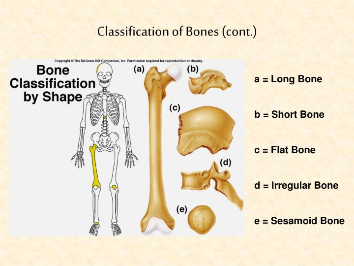 Classification of Bones (cont.)