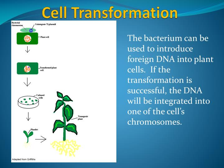 The bacterium can be used to introduce foreign DNA into plant cells.  If the transformation is successful, the DNA will be integrated into one of the cell's chromosomes.