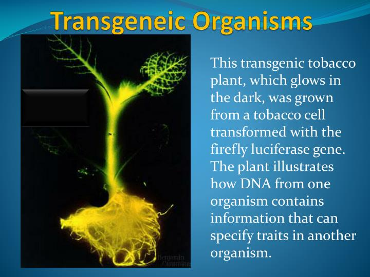 This transgenic tobacco plant, which glows in the dark, was grown from a tobacco cell transformed with the firefly