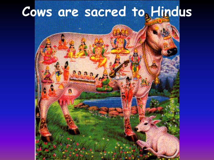 Hinduism And The Sacred Cow Essay