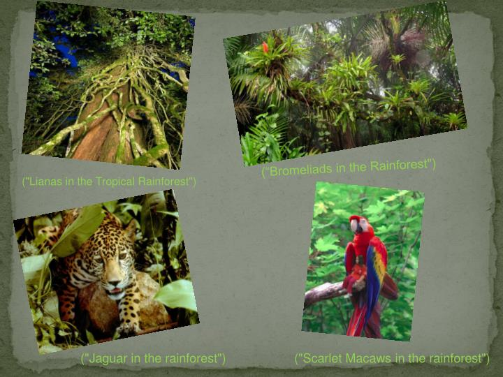 "(""Bromeliads in the Rainforest"")"
