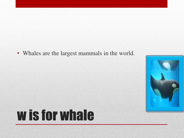 Whales are the largest mammals