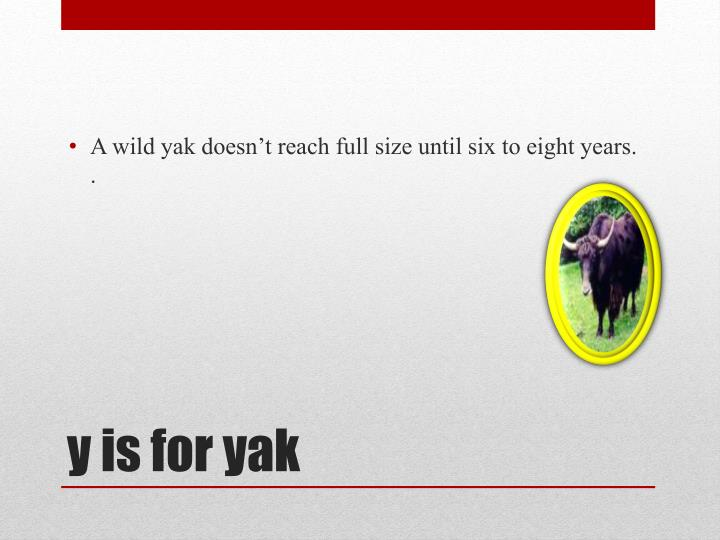 A wild yak doesn't reach full size until six to eight years. .