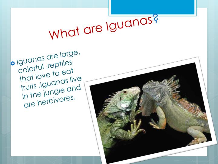 What are Iguanas