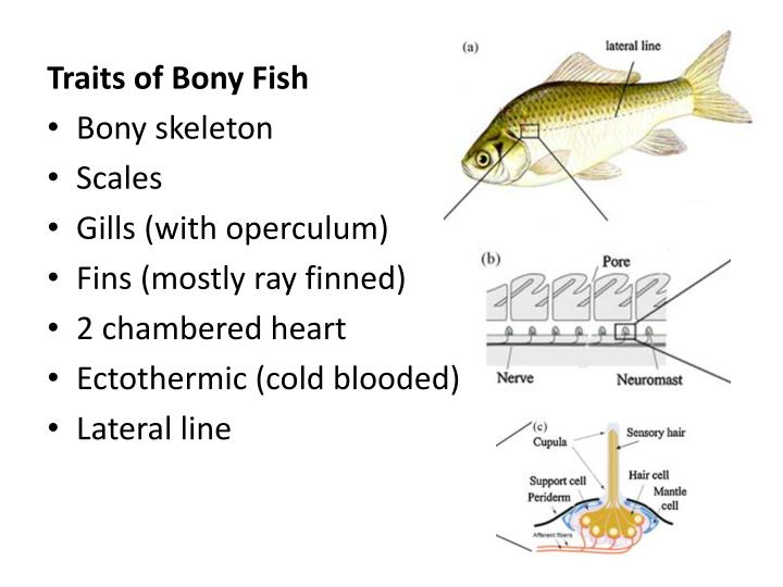 Traits of Bony Fish