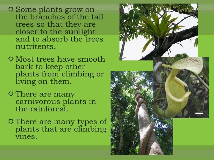 Some plants grow on the branches of the tall trees so that they are closer to the sunlight and to absorb the trees