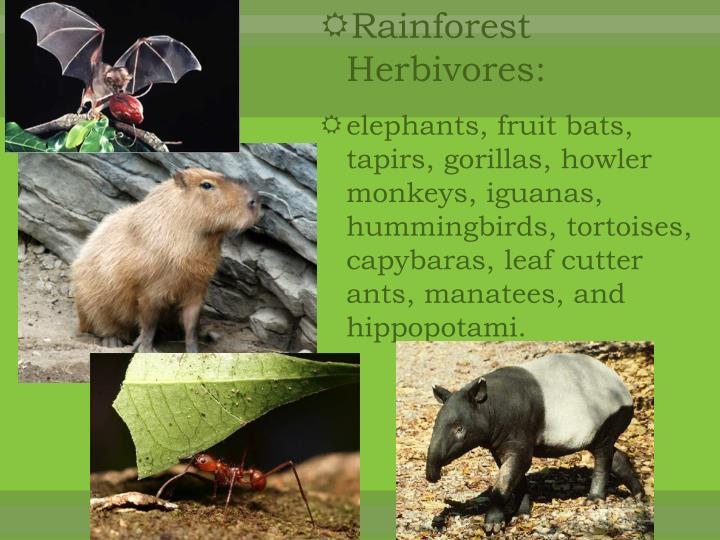Rainforest Herbivores: