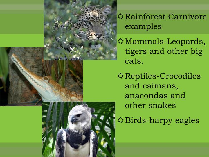 Rainforest Carnivore examples