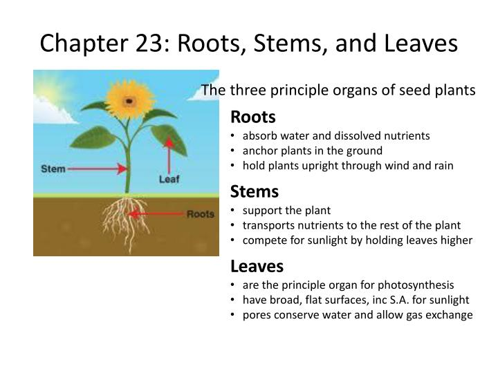 Chapter 23 roots stems and leaves