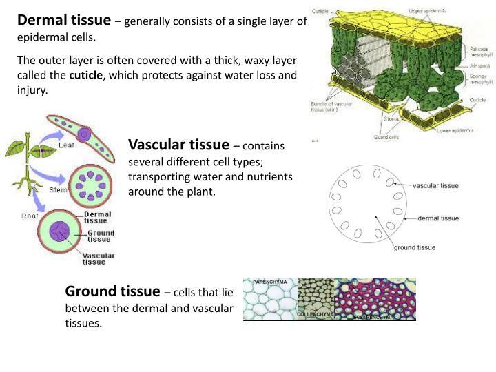 Dermal tissue