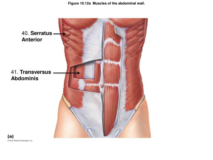 Figure 10.12a  Muscles of the abdominal wall.