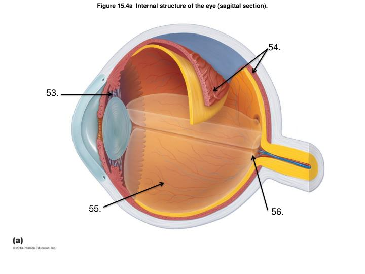 Figure 15.4a  Internal structure of the eye (sagittal section).