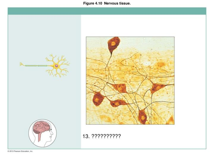 Figure 4.10  Nervous tissue.