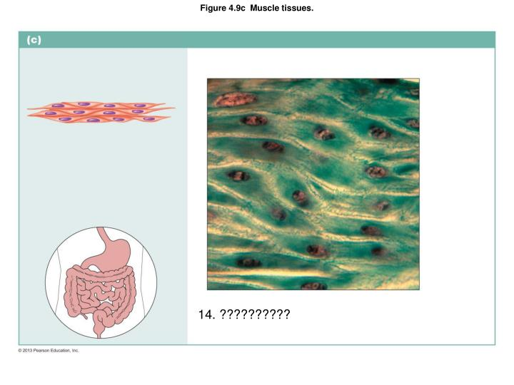 Figure 4.9c  Muscle tissues.