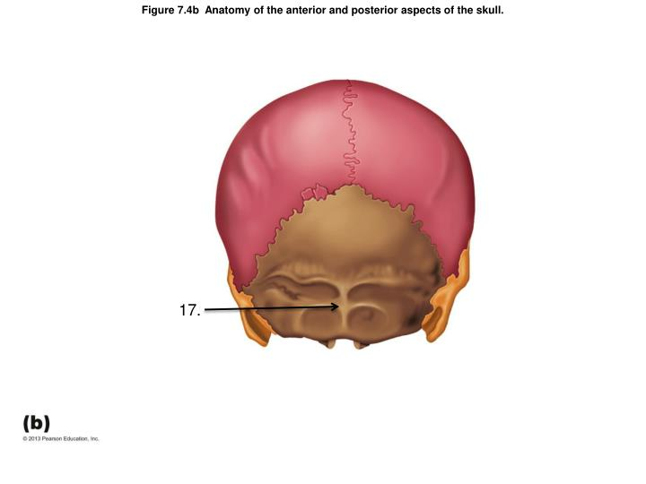 Figure 7.4b  Anatomy of the anterior and posterior aspects of the skull.