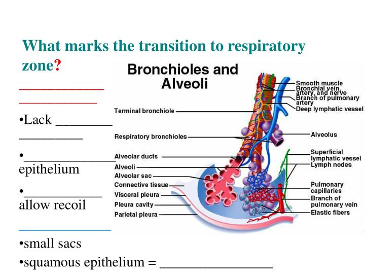 What marks the transition to respiratory zone