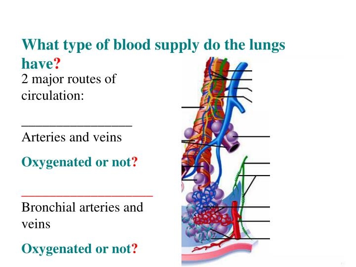 What type of blood supply do the lungs have
