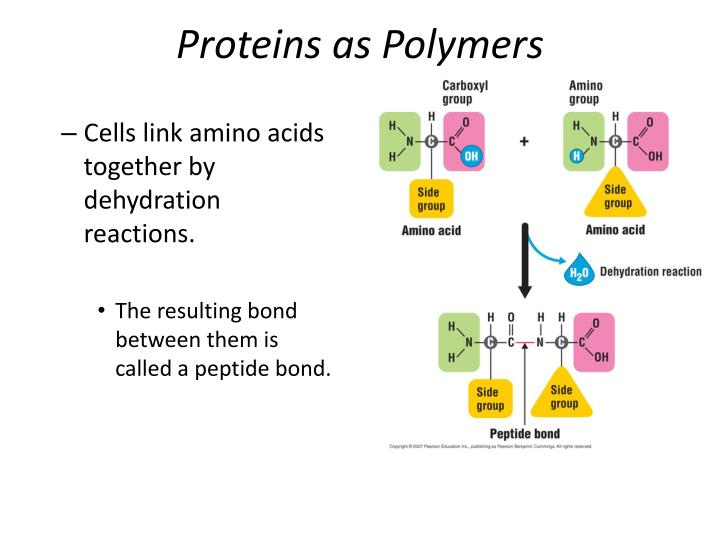 Proteins as Polymers