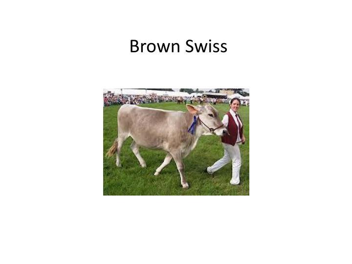 Brown Swiss