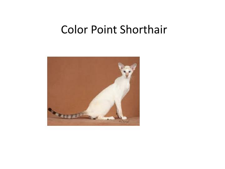 Color Point Shorthair