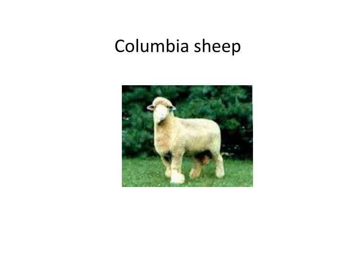 Columbia sheep