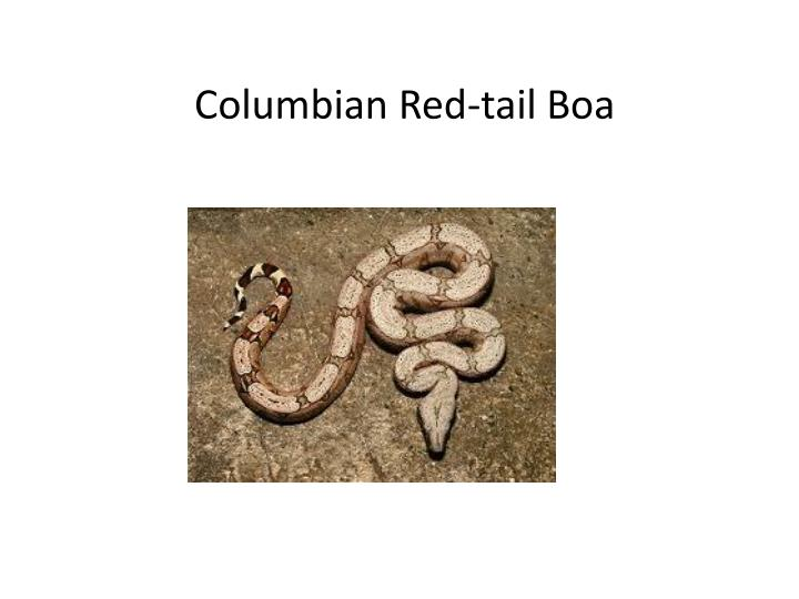Columbian Red-tail Boa