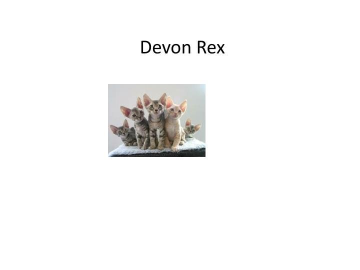 Devon Rex