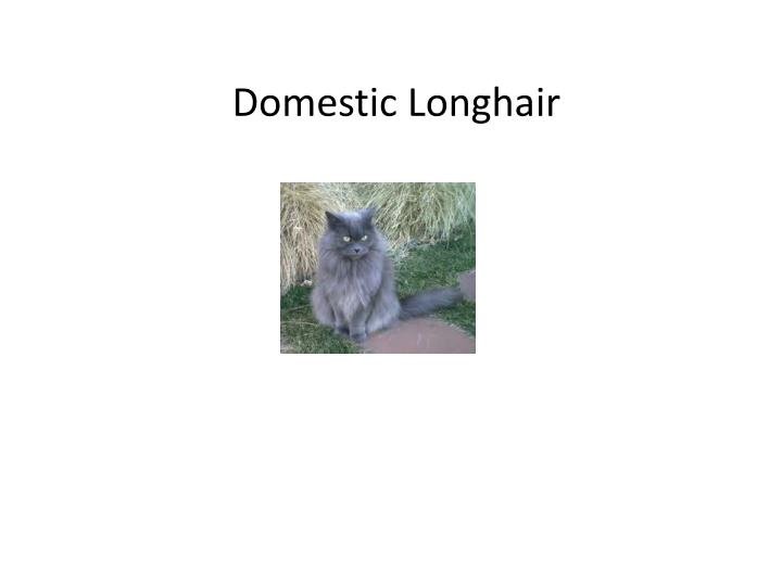 Domestic Longhair