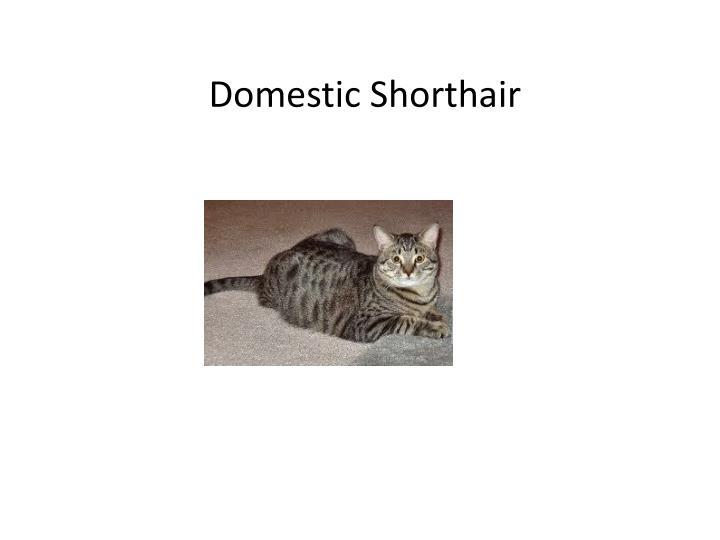 Domestic Shorthair